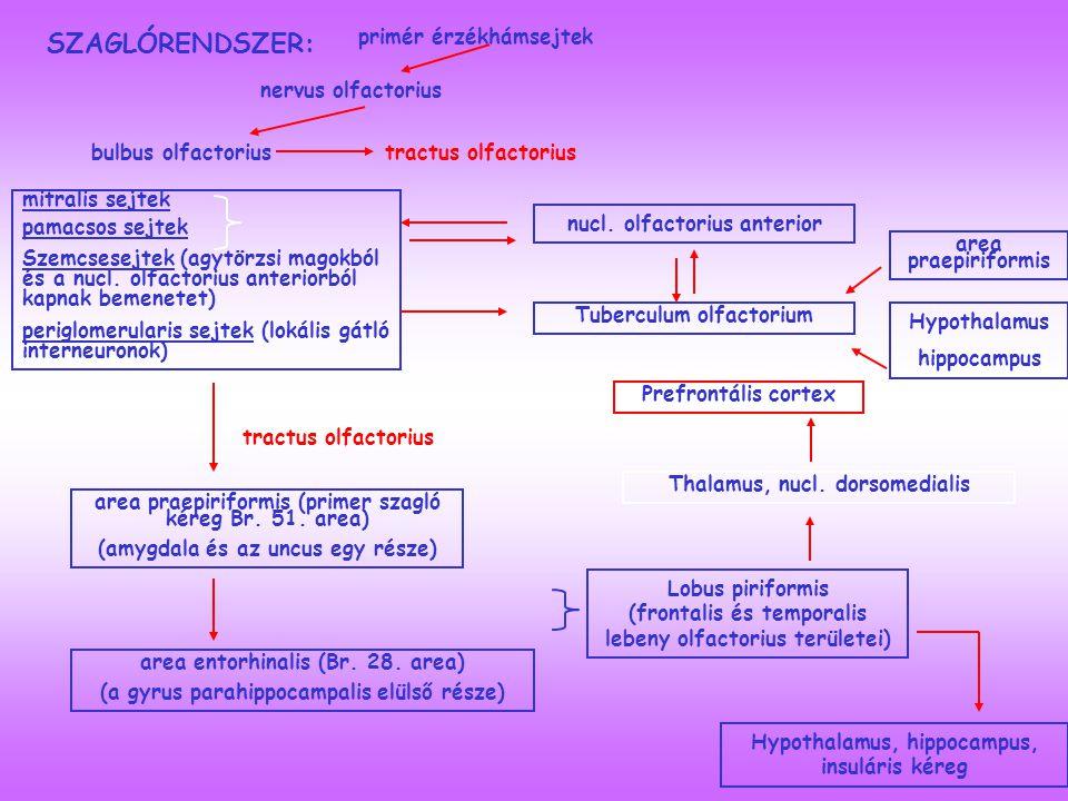 SZAGLÓRENDSZER: mitralis sejtek pamacsos sejtek Szemcsesejtek (agytörzsi magokból és a nucl.