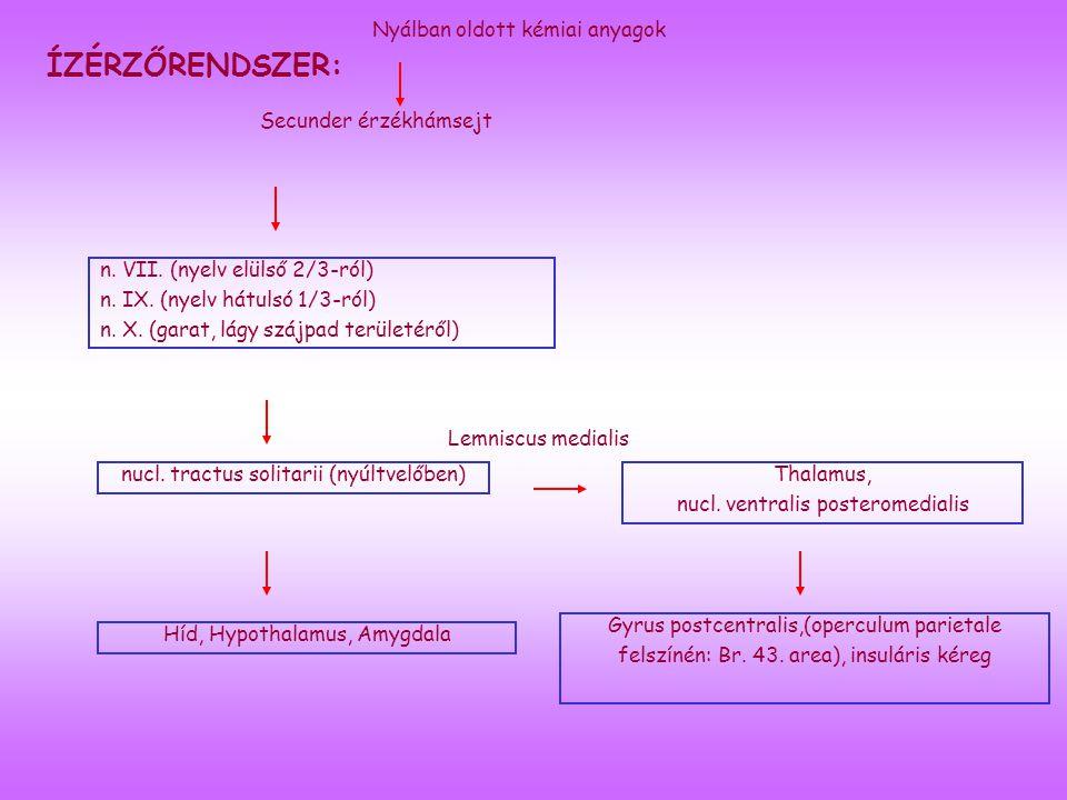 ÍZÉRZŐRENDSZER: Secunder érzékhámsejt n.VII. (nyelv elülső 2/3-ról) n.