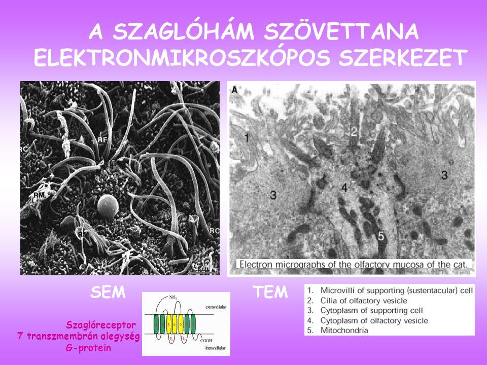 ORGANON VOMERONASALE JACOBSON-FÉLE SZERV Vak csatorna, változó méretű, emberben állítólag csökevényes Feladata: feromonok érzékelése, pár axon fut innen a fila olfactoriához végződik a bulbus olfactorius accessoriusban, majd a járulékos szaglópálya az amygdala és hypothalamus felé tart.