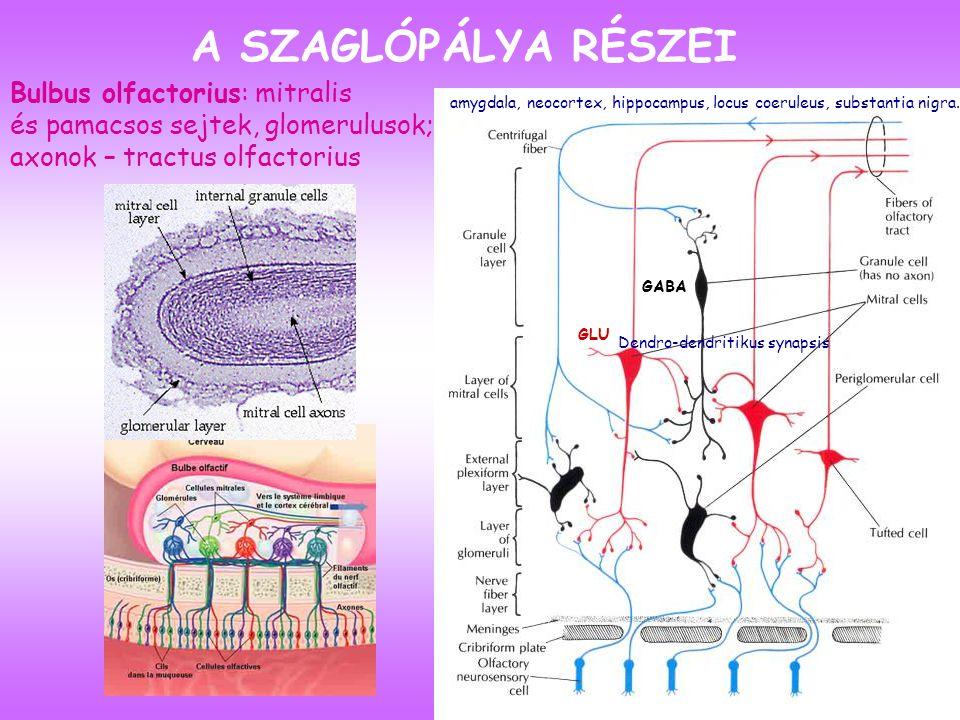 Bulbus olfactorius: mitralis és pamacsos sejtek, glomerulusok; axonok – tractus olfactorius A SZAGLÓPÁLYA RÉSZEI amygdala, neocortex, hippocampus, locus coeruleus, substantia nigra.