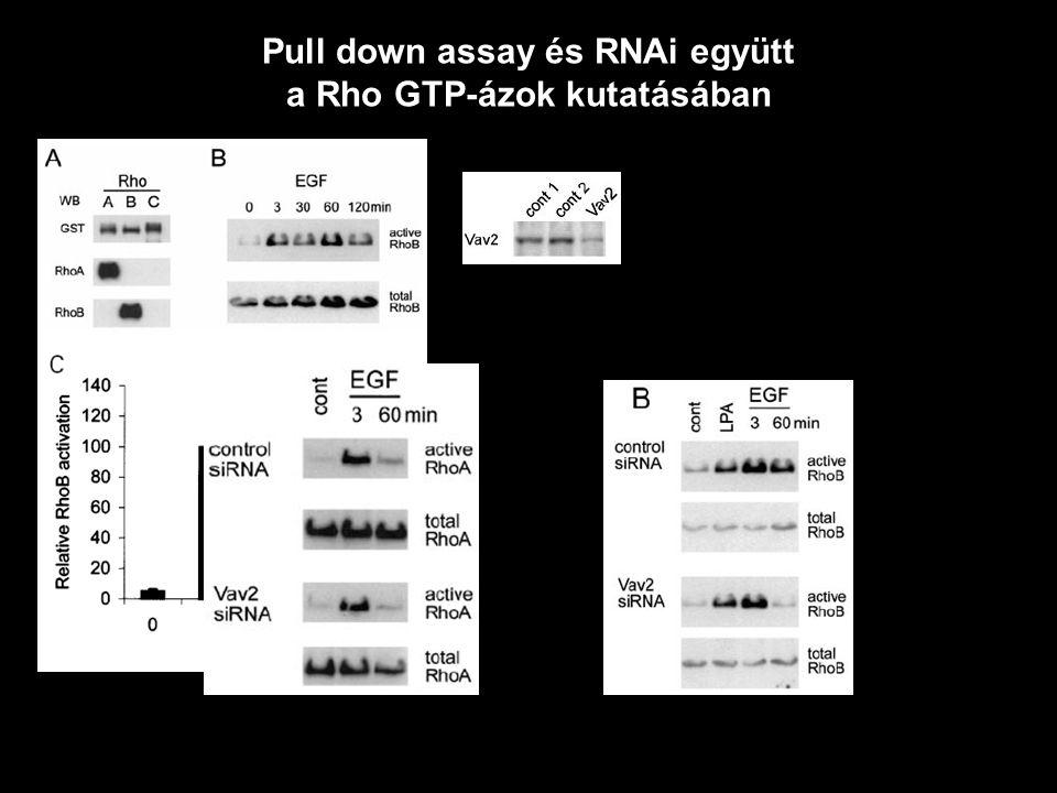 Pull down assay és RNAi együtt a Rho GTP-ázok kutatásában
