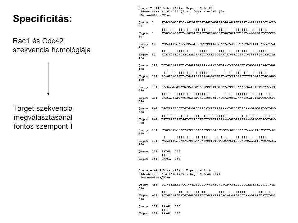 Specificitás: Rac1 és Cdc42 szekvencia homológiája Target szekvencia megválasztásánál fontos szempont !