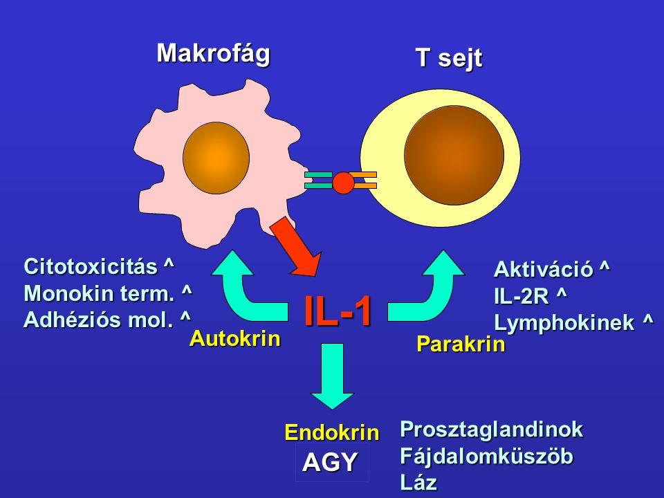 IL-1 Autokrin Parakrin Endokrin T sejt Makrofág Citotoxicitás ^ Monokin term. ^ Adhéziós mol. ^ Aktiváció ^ IL-2R ^ Lymphokinek ^ AGY Prosztaglandinok
