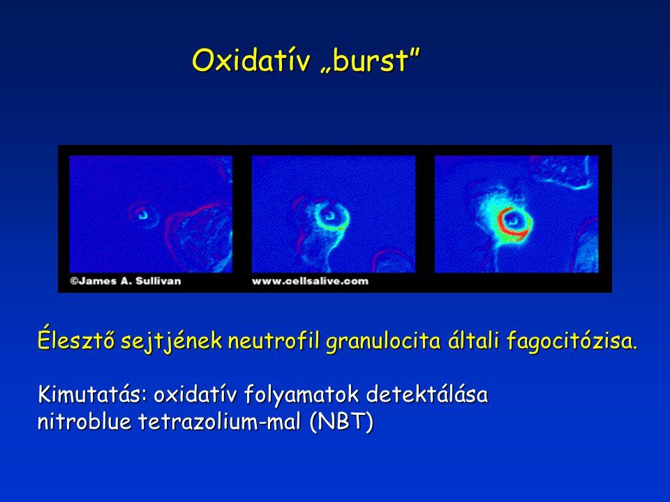 """Oxidatív """"burst Élesztő sejtjének neutrofil granulocita általi fagocitózisa."""