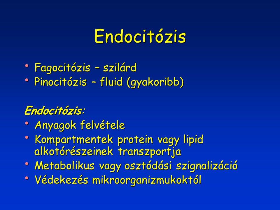 Endocitózis Fagocitózis – szilárd Fagocitózis – szilárd Pinocitózis – fluid (gyakoribb) Pinocitózis – fluid (gyakoribb) Endocitózis: Anyagok felvétele Anyagok felvétele Kompartmentek protein vagy lipid alkotórészeinek transzportja Kompartmentek protein vagy lipid alkotórészeinek transzportja Metabolikus vagy osztódási szignalizáció Metabolikus vagy osztódási szignalizáció Védekezés mikroorganizmukoktól Védekezés mikroorganizmukoktól