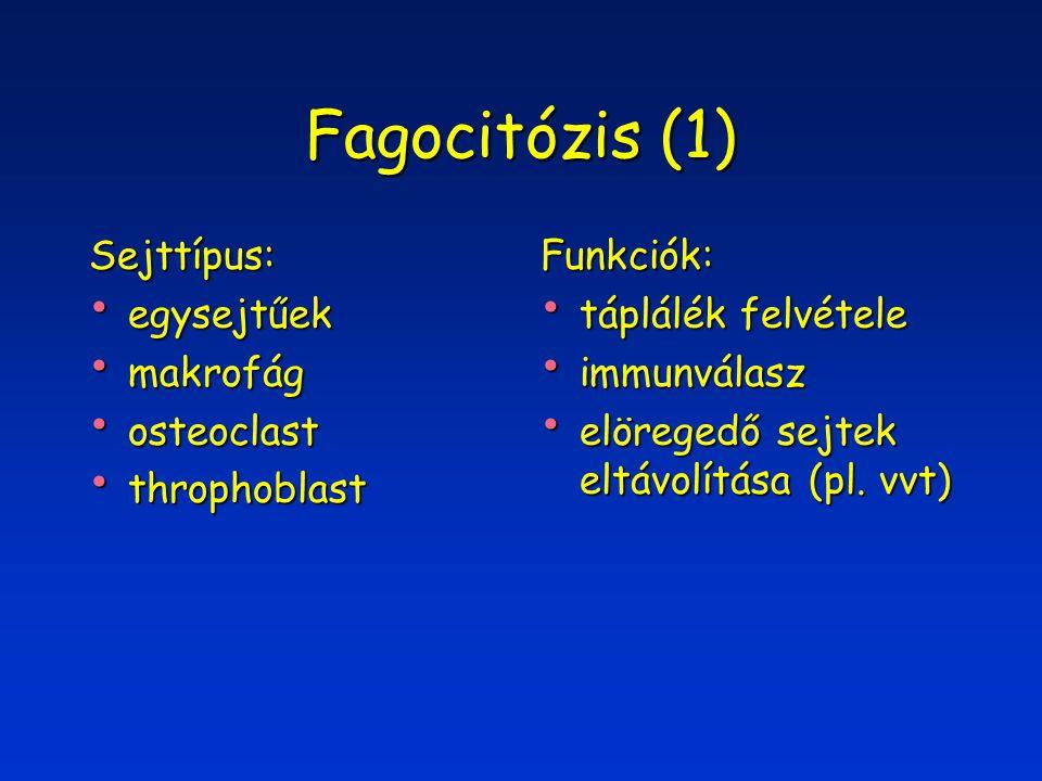 Fagocitózis (1) Sejttípus: egysejtűek egysejtűek makrofág makrofág osteoclast osteoclast throphoblast throphoblastFunkciók: táplálék felvétele táplálék felvétele immunválasz immunválasz elöregedő sejtek eltávolítása (pl.