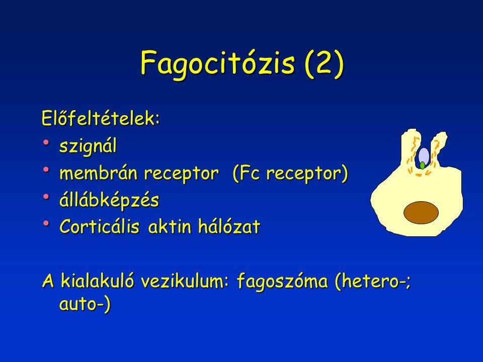 Fagocitózis (2) Előfeltételek: szignál szignál membrán receptor (Fc receptor) membrán receptor (Fc receptor) állábképzés állábképzés Corticális aktin hálózat Corticális aktin hálózat A kialakuló vezikulum: fagoszóma (hetero-; auto-)