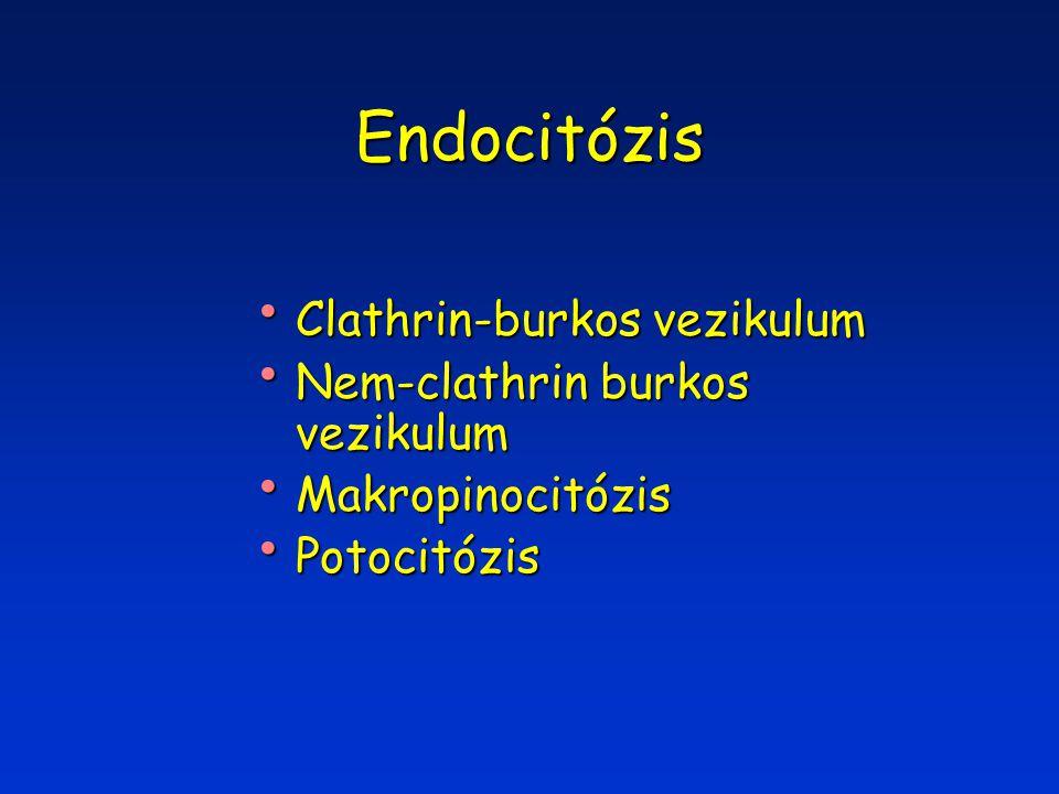 Endocitózis Clathrin-burkos vezikulum Clathrin-burkos vezikulum Nem-clathrin burkos vezikulum Nem-clathrin burkos vezikulum Makropinocitózis Makropinocitózis Potocitózis Potocitózis