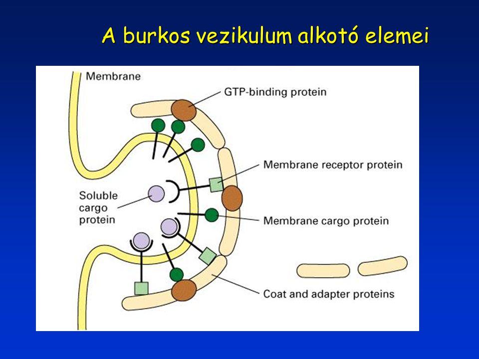 A burkos vezikulum alkotó elemei