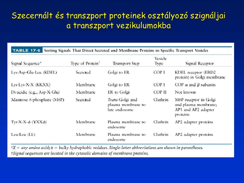 Szecernált és transzport proteinek osztályozó szignáljai a transzport vezikulumokba