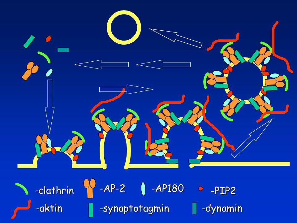 -clathrin -AP-2-AP180 -PIP2 -synaptotagmin-dynamin-aktin