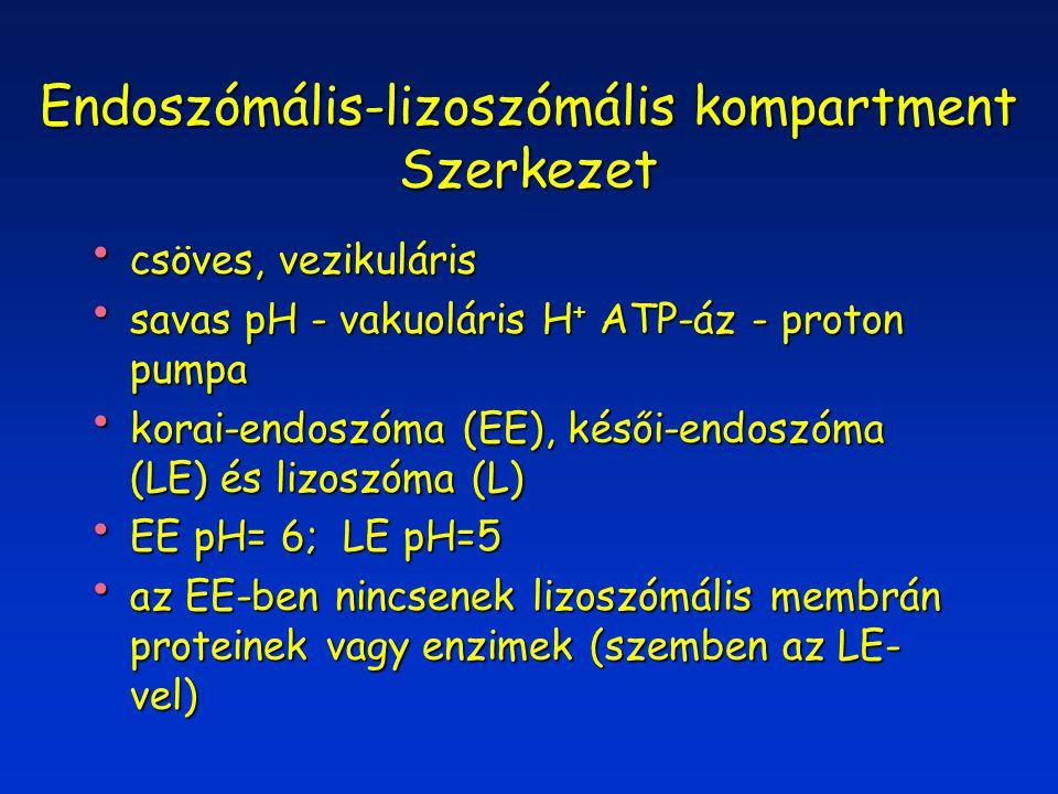 Endoszómális-lizoszómális kompartment Szerkezet csöves, vezikuláris csöves, vezikuláris savas pH - vakuoláris H + ATP-áz - proton pumpa savas pH - vakuoláris H + ATP-áz - proton pumpa korai-endoszóma (EE), késői-endoszóma (LE) és lizoszóma (L) korai-endoszóma (EE), késői-endoszóma (LE) és lizoszóma (L) EE pH= 6; LE pH=5 EE pH= 6; LE pH=5 az EE-ben nincsenek lizoszómális membrán proteinek vagy enzimek (szemben az LE- vel) az EE-ben nincsenek lizoszómális membrán proteinek vagy enzimek (szemben az LE- vel)