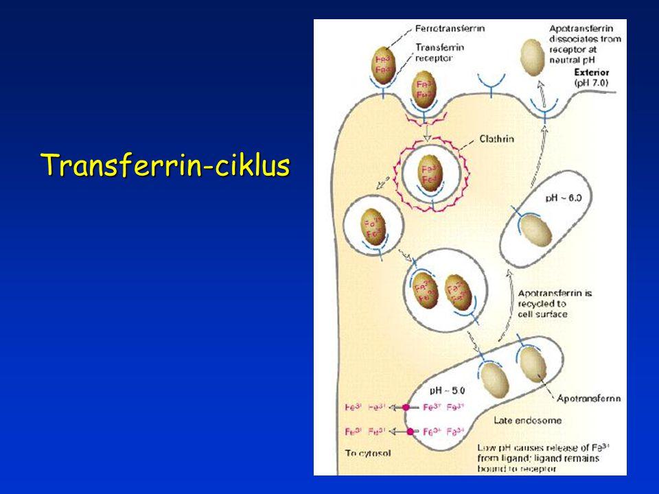Transferrin-ciklus