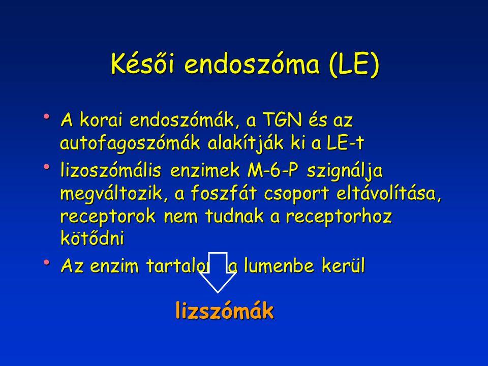 Késői endoszóma (LE) A korai endoszómák, a TGN és az autofagoszómák alakítják ki a LE-t A korai endoszómák, a TGN és az autofagoszómák alakítják ki a LE-t lizoszómális enzimek M-6-P szignálja megváltozik, a foszfát csoport eltávolítása, receptorok nem tudnak a receptorhoz kötődni lizoszómális enzimek M-6-P szignálja megváltozik, a foszfát csoport eltávolítása, receptorok nem tudnak a receptorhoz kötődni Az enzim tartalom a lumenbe kerül Az enzim tartalom a lumenbe kerül lizszómák