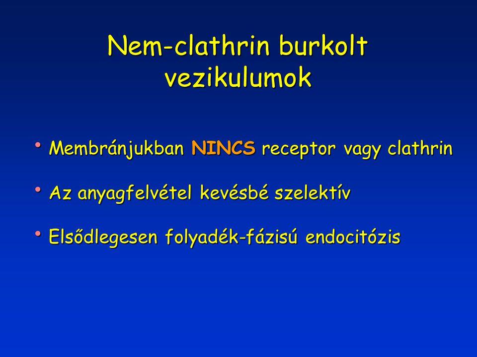 Nem-clathrin burkolt vezikulumok Membránjukban NINCS receptor vagy clathrin Membránjukban NINCS receptor vagy clathrin Az anyagfelvétel kevésbé szelektív Az anyagfelvétel kevésbé szelektív Elsődlegesen folyadék-fázisú endocitózis Elsődlegesen folyadék-fázisú endocitózis