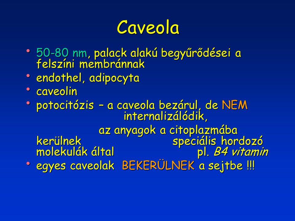Caveola 50-80 nm, palack alakú begyűrődései a felszíni membránnak 50-80 nm, palack alakú begyűrődései a felszíni membránnak endothel, adipocyta endothel, adipocyta caveolin caveolin potocitózis – a caveola bezárul, de NEM internalizálódik, potocitózis – a caveola bezárul, de NEM internalizálódik, az anyagok a citoplazmába kerülnek speciális hordozó molekulák által pl.