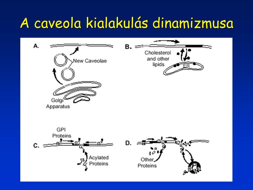 A caveola kialakulás dinamizmusa