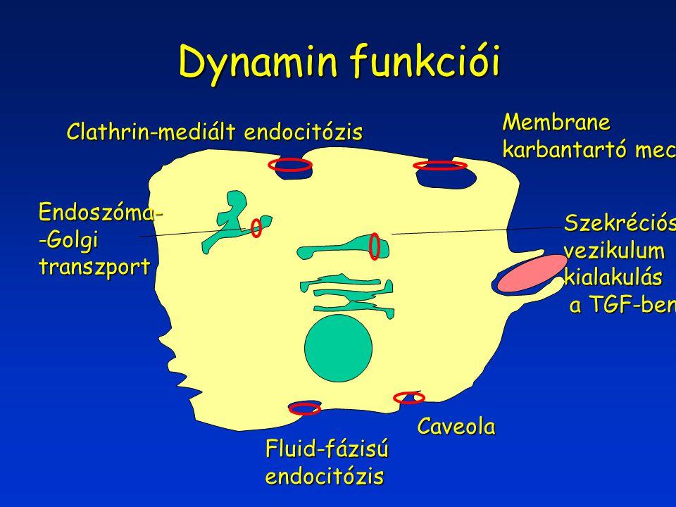 Dynamin funkciói Fluid-fázisúendocitózis Caveola Membrane karbantartó mech.