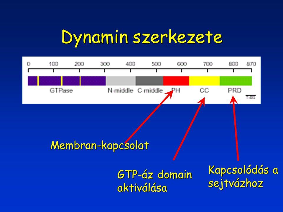 Dynamin szerkezete Membran-kapcsolat GTP-áz domain aktiválása Kapcsolódás a sejtvázhoz