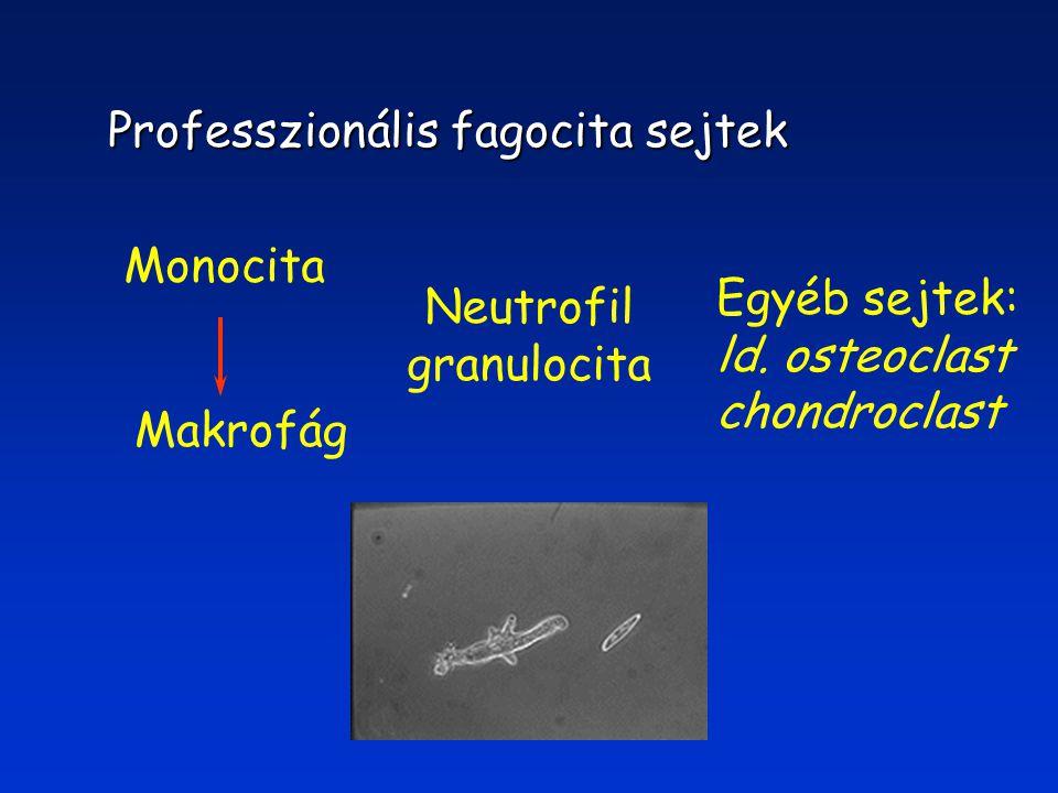 Professzionális fagocita sejtek Monocita Makrofág Neutrofil granulocita Egyéb sejtek: ld.