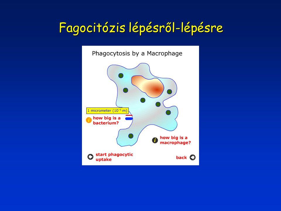 """Makropinocitózis A felszíni membrán fodrozódása bemélyedéseket A felszíni membrán fodrozódása bemélyedéseket képez képez Ezeknek a """"vakuólák -nak NINCS membránjuk Ezeknek a """"vakuólák -nak NINCS membránjuk Méret: 0.2-5 mm - tömeg/felszín arány nagyon jó Jelentőség: Folyadék-fázisú pinocitózis Folyadék-fázisú pinocitózis Mintavételezés a környezetből Mintavételezés a környezetből – antigén-felismerés a makrofágokban"""