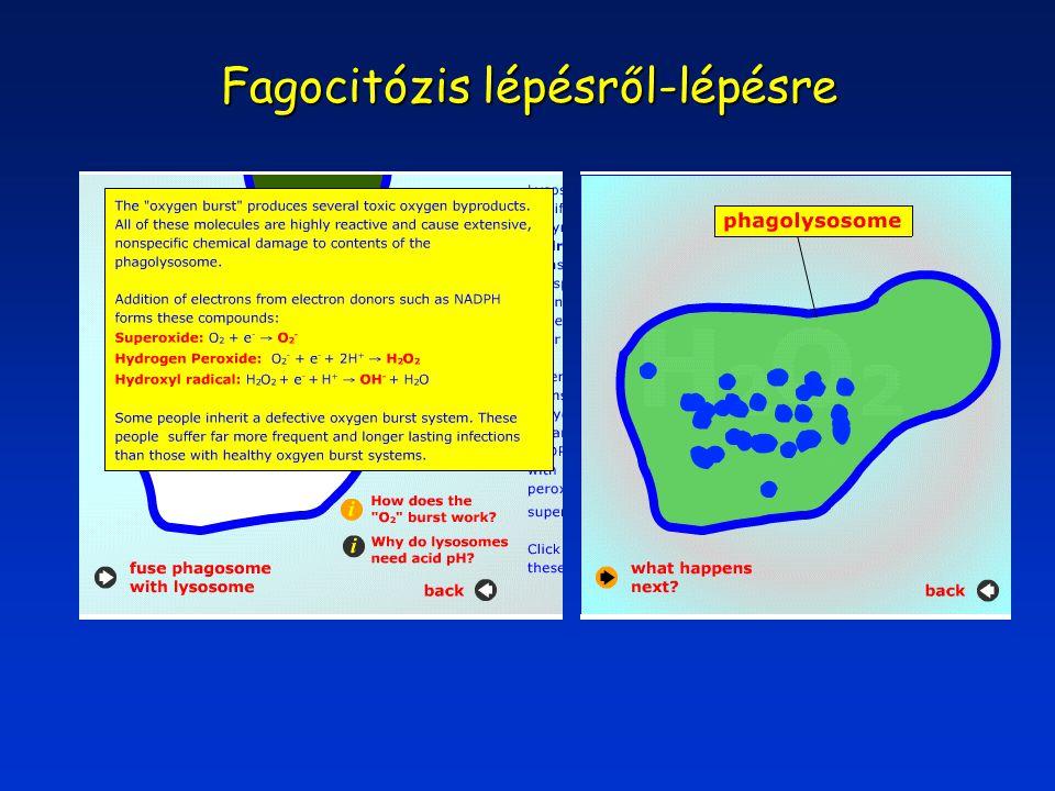 LDL internalizáció citoplazmatikusfázisa