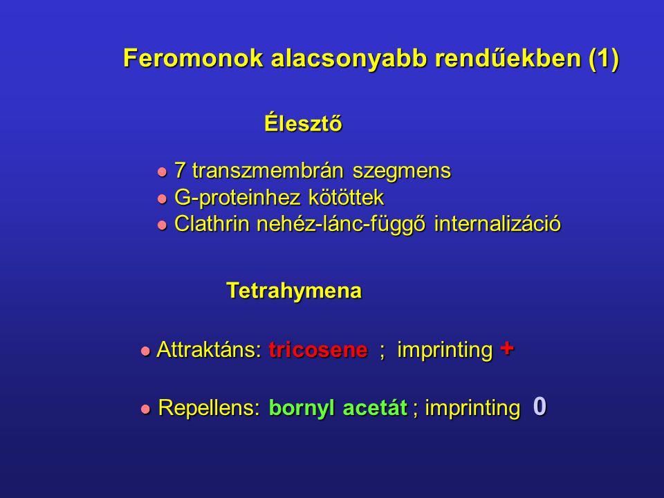 Feromonok alacsonyabb rendűekben (1) 7 transzmembrán szegmens 7 transzmembrán szegmens G-proteinhez kötöttek G-proteinhez kötöttek Clathrin nehéz-lánc-függő internalizáció Clathrin nehéz-lánc-függő internalizáció Tetrahymena Attraktáns: tricosene ; imprinting + Attraktáns: tricosene ; imprinting + Repellens: bornyl acetát ; imprinting 0 Repellens: bornyl acetát ; imprinting 0 Élesztő