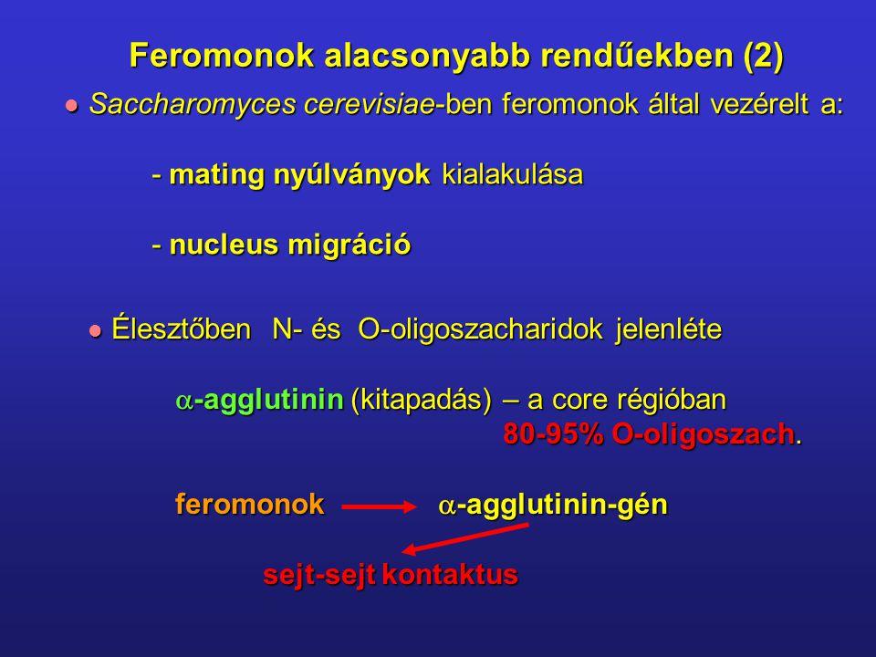 Saccharomyces cerevisiae-ben feromonok által vezérelt a: Saccharomyces cerevisiae-ben feromonok által vezérelt a: - mating nyúlványok kialakulása - nucleus migráció Élesztőben N- és O-oligoszacharidok jelenléte Élesztőben N- és O-oligoszacharidok jelenléte  -agglutinin (kitapadás) – a core régióban 80-95% O-oligoszach.
