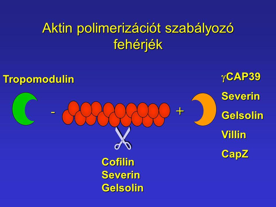 Aktin polimerizációt szabályozó fehérjék -+ CofilinSeverinGelsolin   CAP39 SeverinGelsolinVillinCapZ Tropomodulin