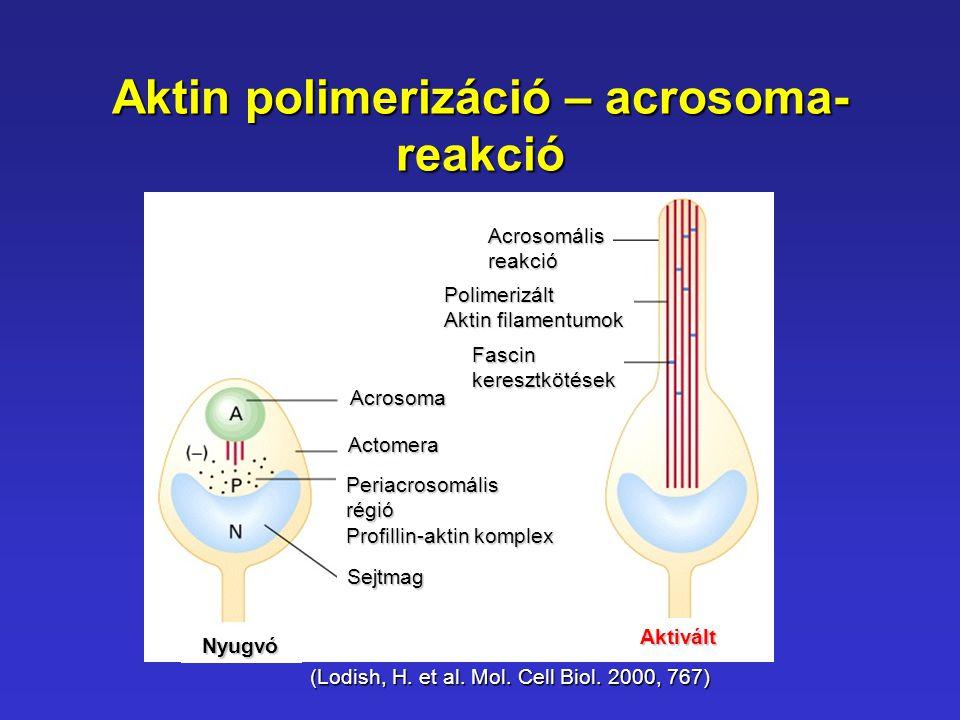 Aktin polimerizáció – acrosoma- reakció (Lodish, H. et al. Mol. Cell Biol. 2000, 767) Acrosoma Periacrosomálisrégió Profillin-aktin komplex Sejtmag Ac