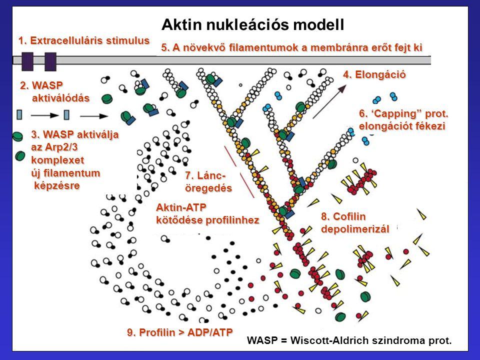 Aktin nukleációs modell 1. Extracelluláris stimulus 2. WASP aktiválódás aktiválódás 3. WASP aktiválja az Arp2/3 komplexet új filamentum képzésre képzé