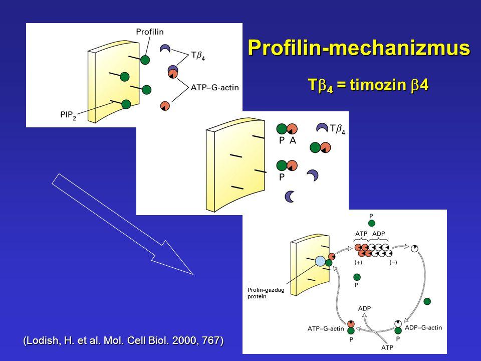 Prolin-gazdag protein Profilin-mechanizmus (Lodish, H. et al. Mol. Cell Biol. 2000, 767) T  4 =timozin  4 T  4 = timozin  4