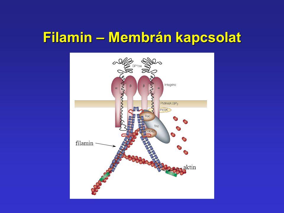 Filamin – Membrán kapcsolat filamin aktin