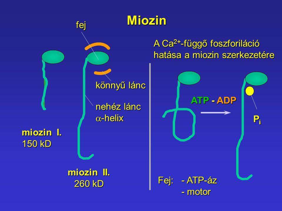 Miozin miozin I. 150 kD miozin II. 260 kD fej nehéz lánc  -helix könnyű lánc ATP - ADP PiPiPiPi Fej: - ATP-áz - motor A Ca 2+ -függő foszforiláció ha