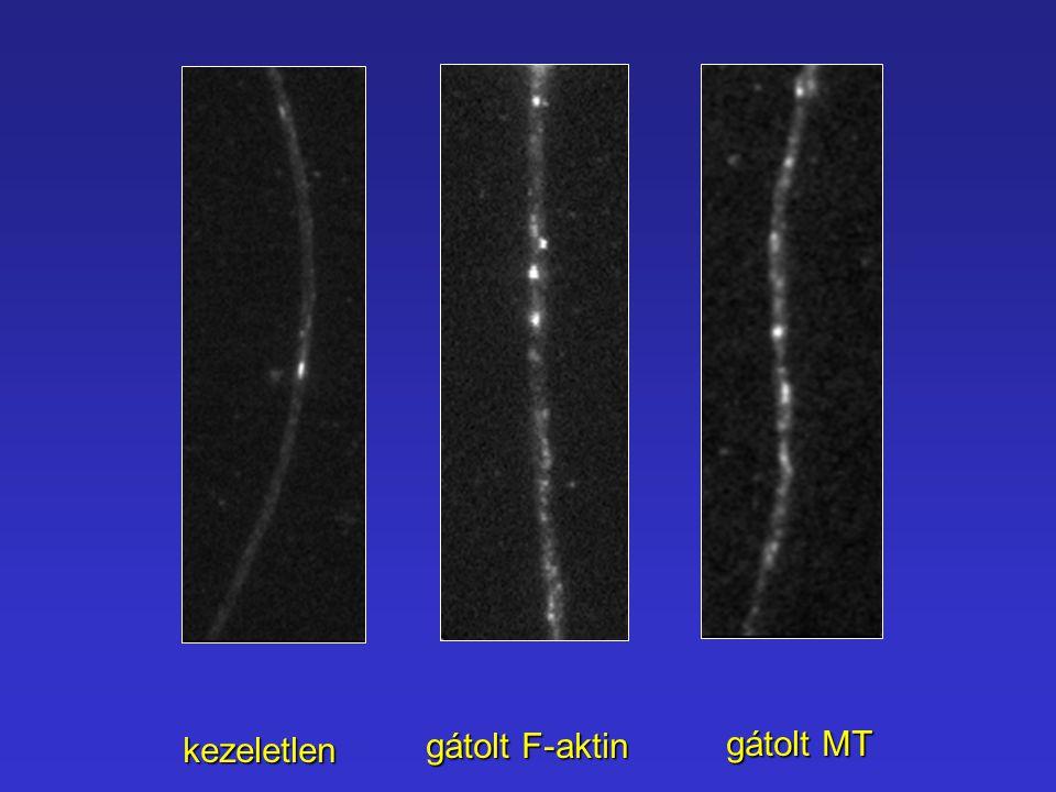 kezeletlen gátolt F-aktin gátolt MT