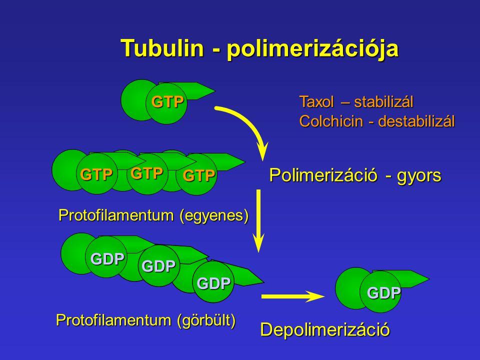 Tubulin - polimerizációja Protofilamentum (egyenes) Protofilamentum (görbült) GTP GTP GTP GTP GDP GDP GDP GDP Polimerizáció - gyors Depolimerizáció Ta
