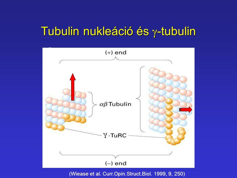 Tubulin nukleáció és  -tubulin (Wiease et al. Curr.Opin.Struct.Biol. 1999, 9, 250)