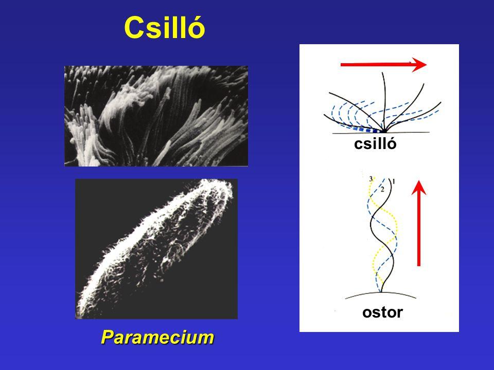 Csillócsilló ostor Paramecium