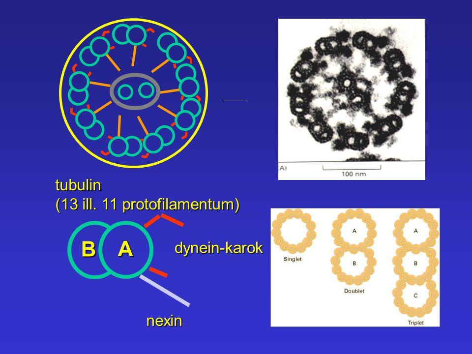 A B dynein-karok nexintubulin (13 ill. 11 protofilamentum)
