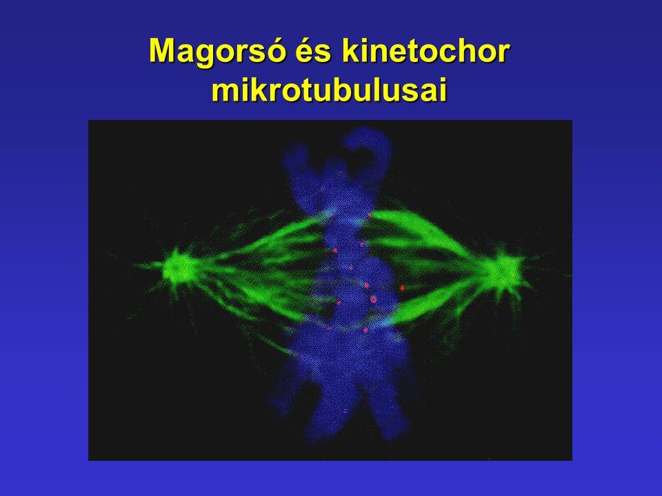 Magorsó és kinetochor mikrotubulusai