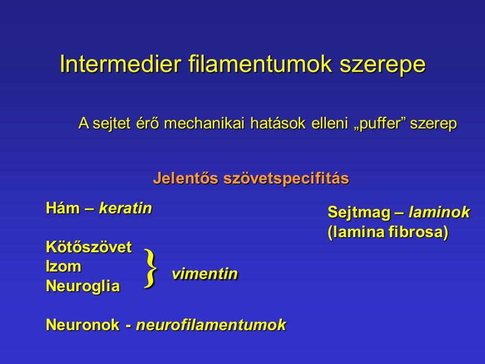 """Intermedier filamentumok szerepe A sejtet érő mechanikai hatások elleni """"puffer"""" szerep Jelentős szövetspecifitás Hám – keratin KötőszövetIzomNeurogli"""