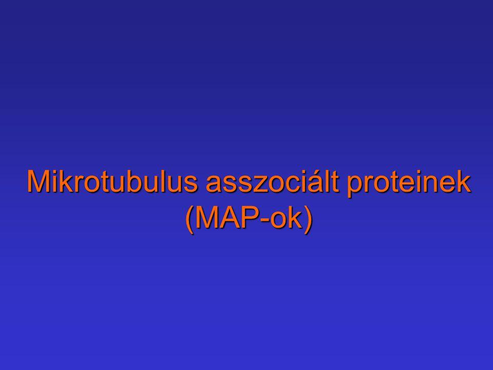 Mikrotubulus asszociált proteinek (MAP-ok)