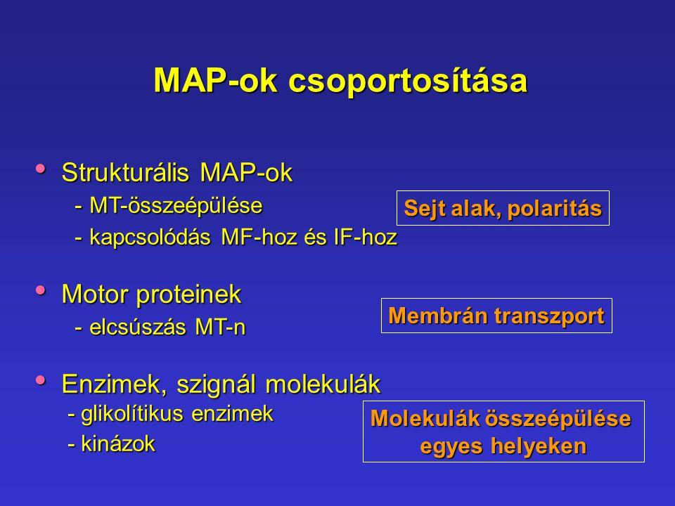MAP-ok csoportosítása Strukturális MAP-ok Strukturális MAP-ok - MT-összeépülése - MT-összeépülése - kapcsolódás MF-hoz és IF-hoz - kapcsolódás MF-hoz