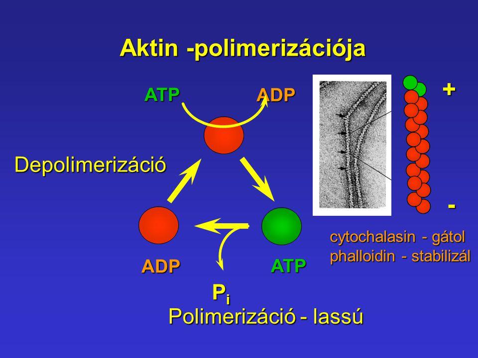Aktin -polimerizációja ATP ADP ADPATP PiPiPiPi Polimerizáció - lassú Depolimerizáció+- cytochalasin - gátol phalloidin - stabilizál