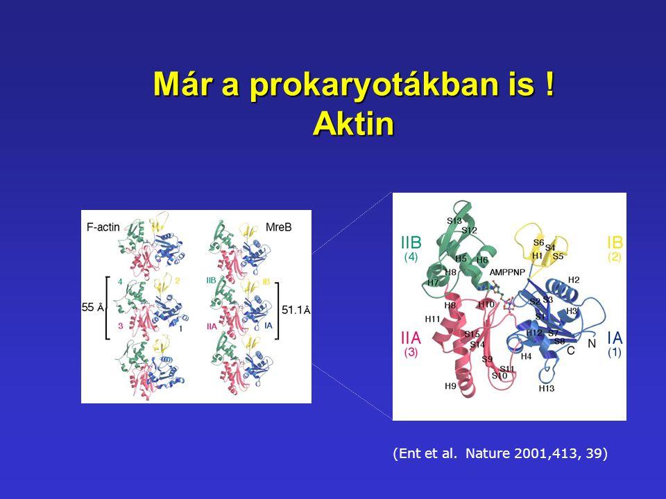 Már a prokaryotákban is ! Aktin (Ent et al. Nature 2001,413, 39)