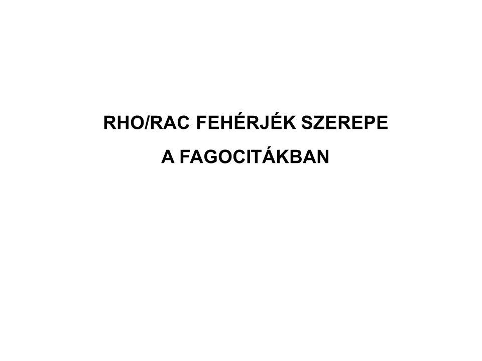 RHO/RAC FEHÉRJÉK SZEREPE A FAGOCITÁKBAN