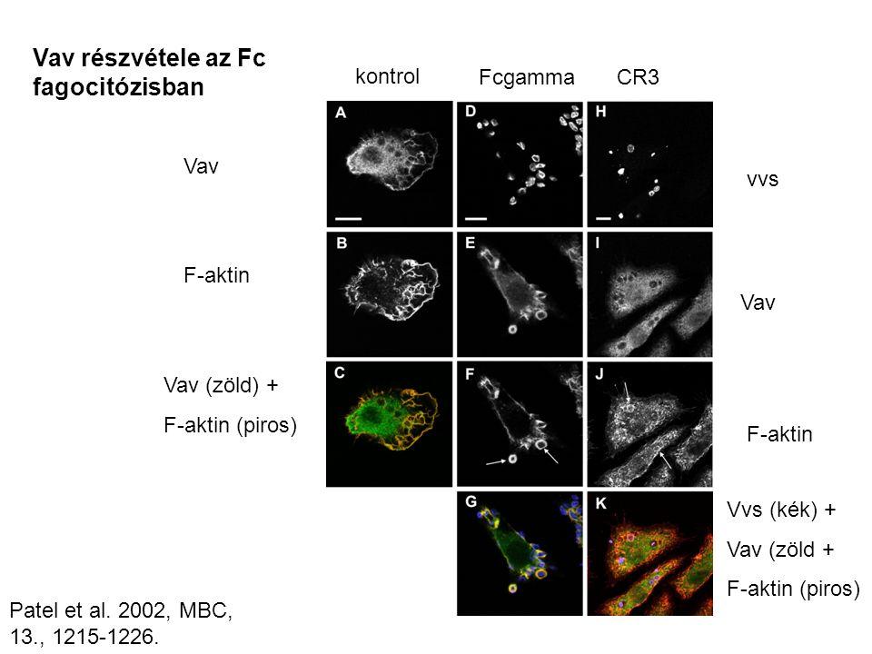 Vav részvétele az Fc fagocitózisban Vav F-aktin Vav (zöld) + F-aktin (piros) kontrol FcgammaCR3 vvs Vav F-aktin Vvs (kék) + Vav (zöld + F-aktin (piros) Patel et al.