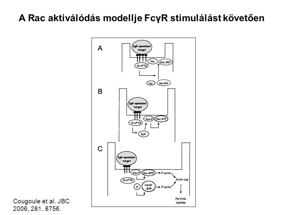Cougoule et al. JBC 2006, 281. 8756. A Rac aktiválódás modellje FcγR stimulálást követően