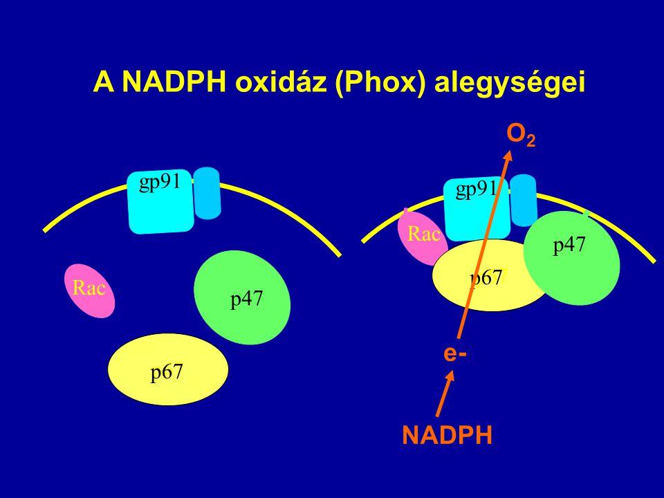 Rac p67 p47 gp91 Rac p67 p47 gp91 A NADPH oxidáz (Phox) alegységei e- NADPH O2O2
