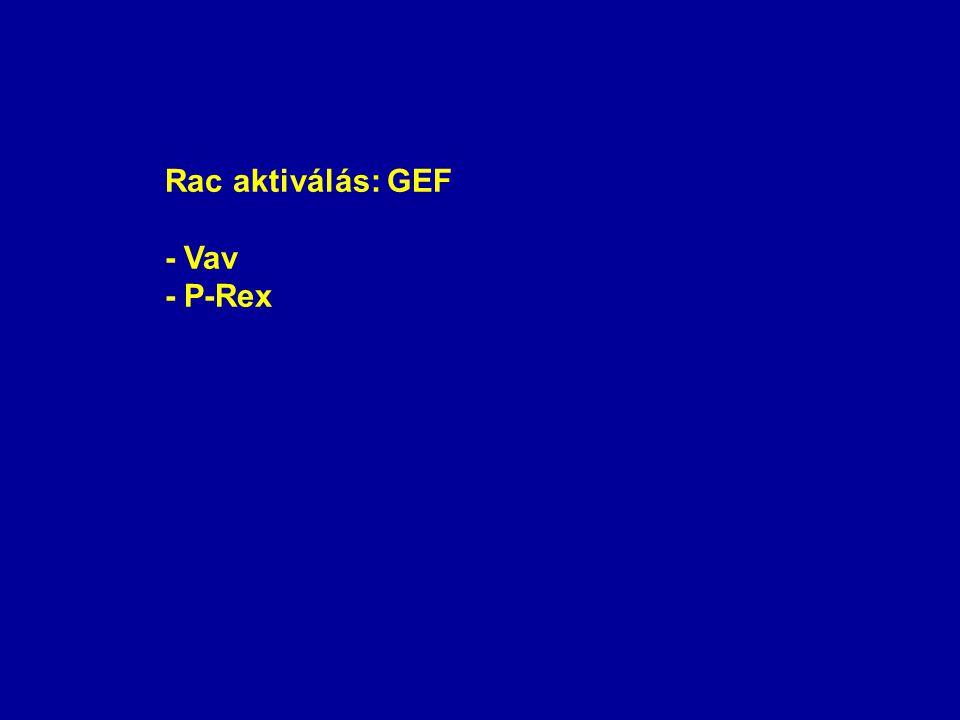 Rac aktiválás: GEF - Vav - P-Rex